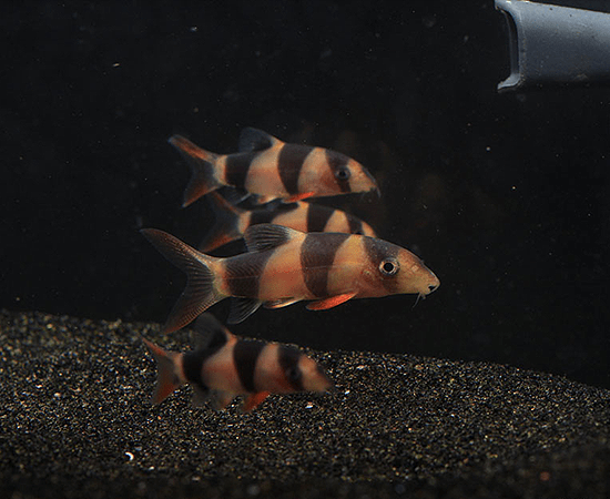 Clown Loach (Chromobotia macracanthus) - Imperial Tropicals