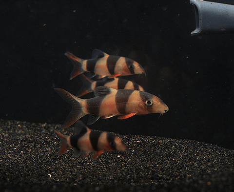 Wild Caught Clown Loach (Chromobotia macracanthus) - Imperial Tropicals