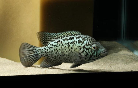 Cuban Cichlid (Nandopsis tetracanthus) - Imperial Tropicals