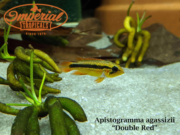 Double Red (Apistogramma agassizii)