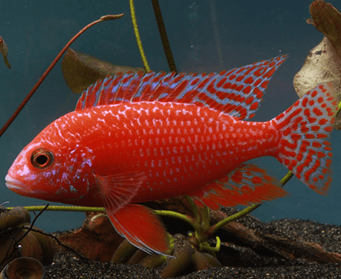 Dragon Blood/Firefish Peacock Cichlid (Aulonocara sp.) - Imperial Tropicals