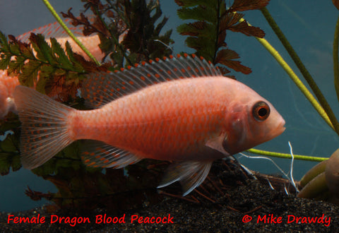 "Dragon Blood Peacock Cichlid (Aulonocara sp.) (""Firefish"") - Imperial Tropicals"