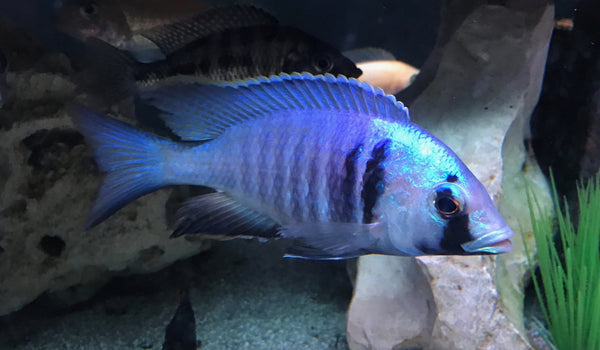 Deep Water Hap (Placidochromis electra) - Imperial Tropicals