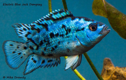 Electric Blue Jack Dempsey (Rocio octofasciata) - Imperial Tropicals