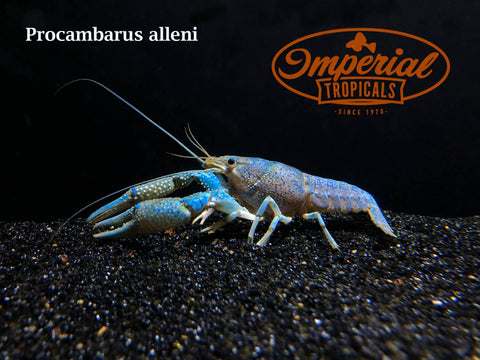 Electric Blue Crayfish (Procambarus alleni)
