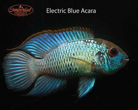 Electric Blue Acara (Aequidens pulcher) - Imperial Tropicals