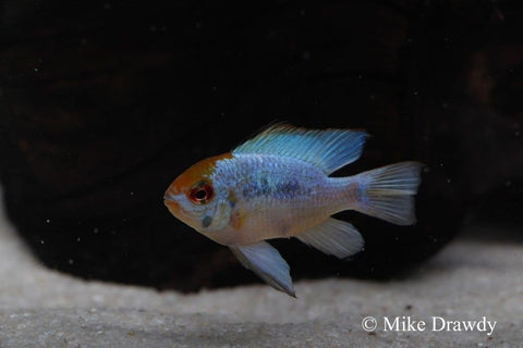 Electric Blue Ram (Mikrogeophagus ramirezi) - Imperial Tropicals