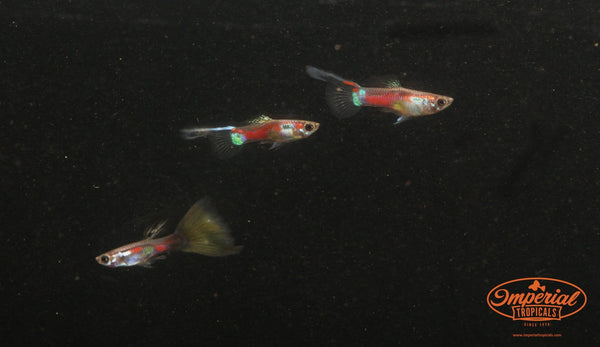 Assorted Fancy Guppy (Poecilia reticulata) - Imperial Tropicals