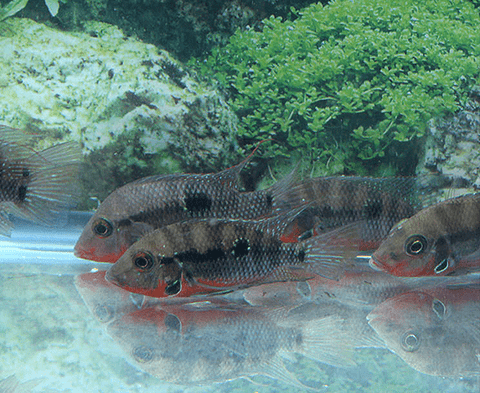 Firemouth Cichlid (Thorichthys meeki) - Imperial Tropicals
