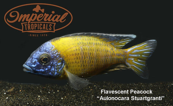 Flavescent Peacock (Aulonocara sp.) - Imperial Tropicals