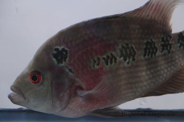 Red Dragon Flowerhorn Cichlid
