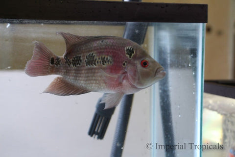 Red Dragon Flowerhorn Cichlid - Imperial Tropicals
