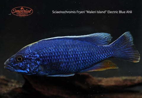 Electric Blue Cichlid (Sciaenochromis fryeri) - Imperial Tropicals