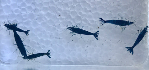 Blueberry/Blue Phantom Shrimp - Neocaridina davidi - Imperial Tropicals