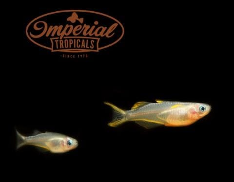 Blue Eye Forktail Rainbowfish (Pseudomugil furcata) - Imperial Tropicals