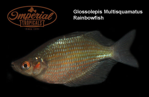 "Glossolepis multisquamata Rainbowfish "" Mamberamo"" - Imperial Tropicals"