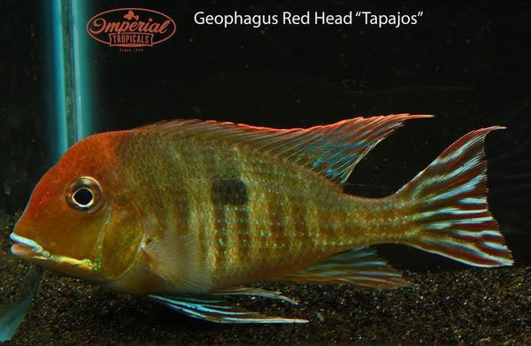 Red Head Tapajos (Geophagus sp.) - Imperial Tropicals