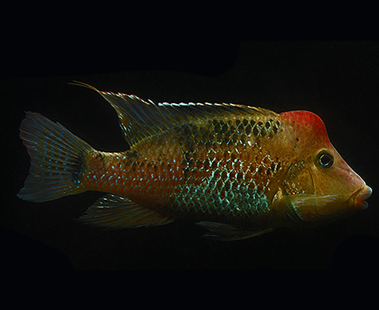 Red Hump (Geophagus steindachneri) - Imperial Tropicals