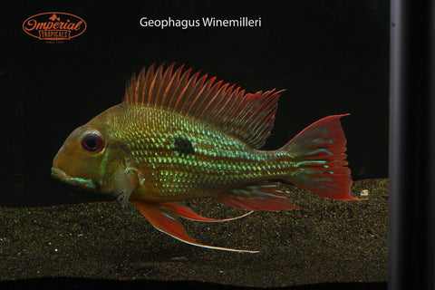 (Geophagus winemilleri) - Imperial Tropicals