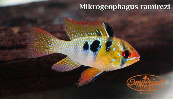 German Blue Ram (Mikrogeophagus ramirezi)