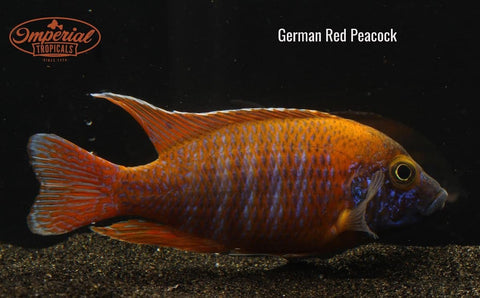 German Red Peacock (Aulonocara sp.) - Imperial Tropicals