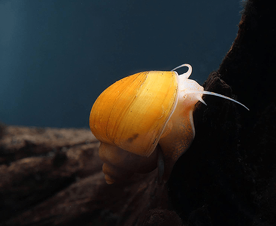 Gold Mystery Snail (Pomacea sp.) - Imperial Tropicals