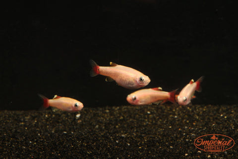 Gold White Cloud Mountain minnow (Tanichthys albonubes) - Imperial Tropicals