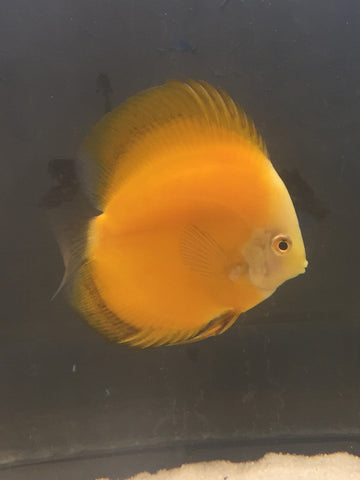 Golden Melon Discus