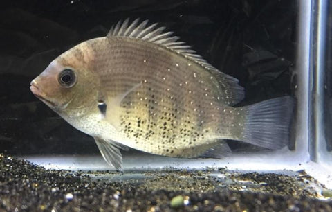 Green Chromide Cichlid (Etroplus suratensis) - Imperial Tropicals