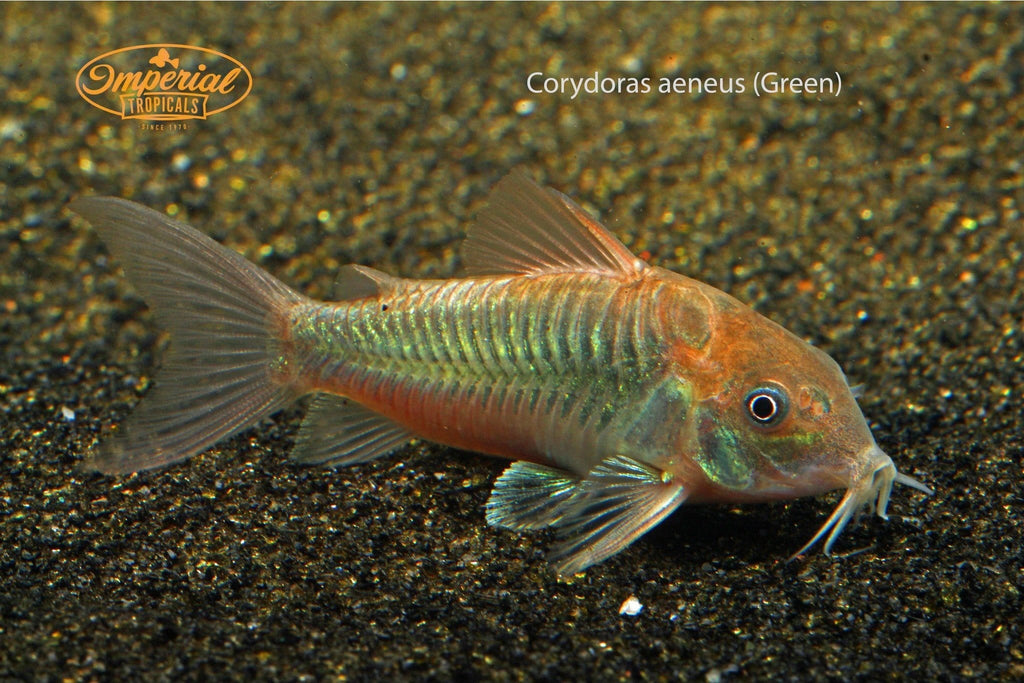 "Catfish For Sale >> Green Corydoras (Corydoras aeneus ""Green"") – Imperial Tropicals"