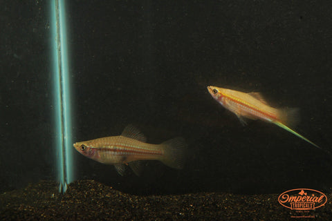 Green Swordtail (Xiphophorus hellerii) - Imperial Tropicals