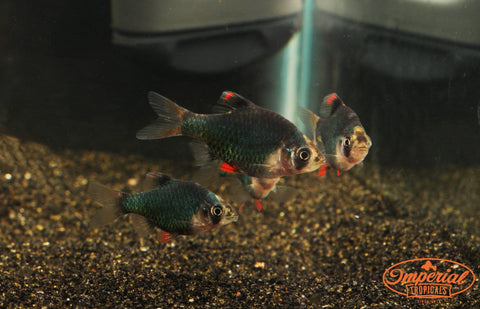 Green Tiger Barbs (Puntius tetrazona) - Imperial Tropicals