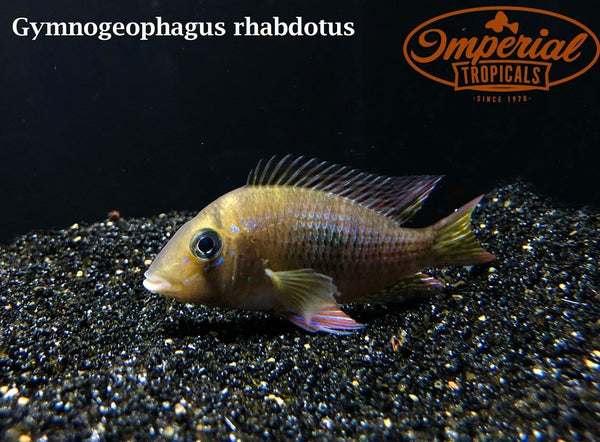 (Gymnogeophagus rhabdotus) - Imperial Tropicals