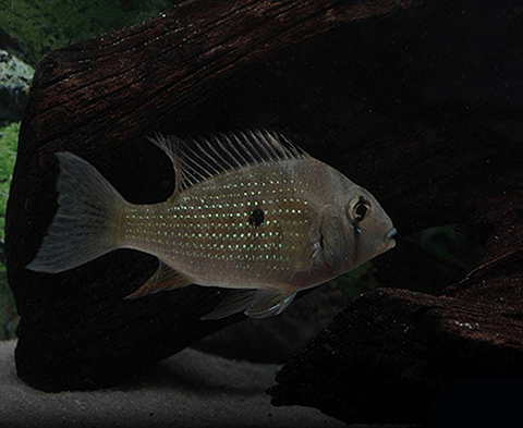 Threadfin Acara  (Acarichthys heckelii) - Imperial Tropicals