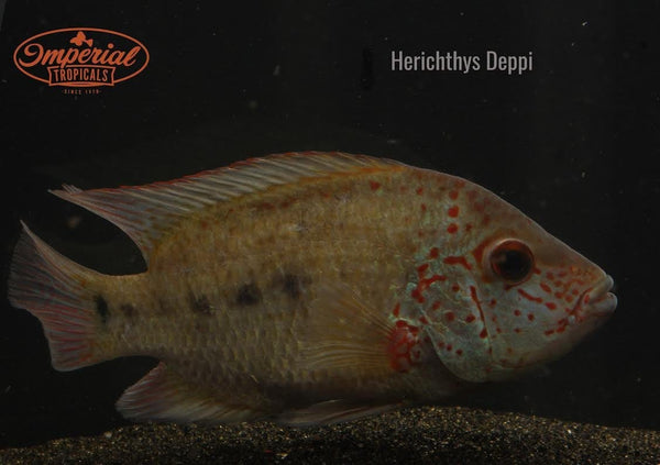 Herichthys Deppi - Imperial Tropicals