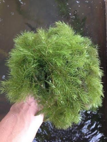 Hornwort ceratophyllum demursum floating pond plant for Floating pond plants