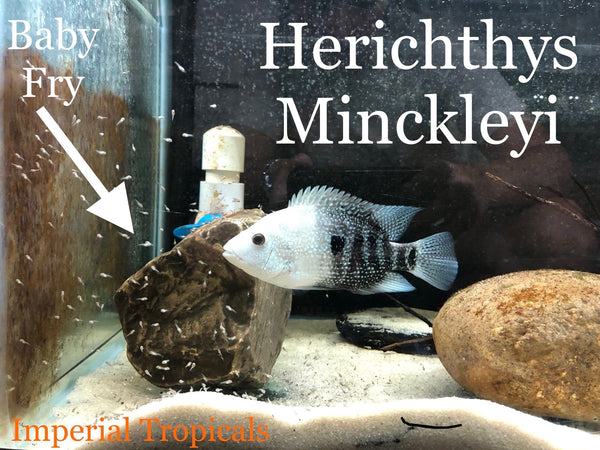 Herichthys Minckleyi - Imperial Tropicals