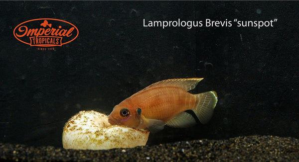 Sunspot (Lamprologus brevis) - Imperial Tropicals