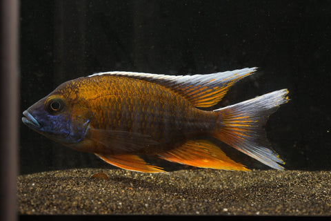 Otter Point Peacock Cichlid (Aulonocara Jacobfreibergi)