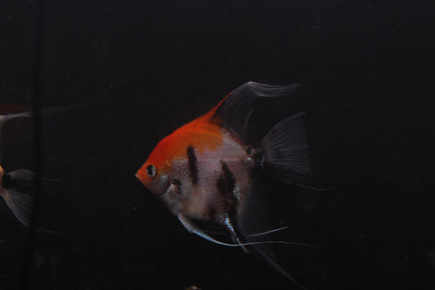Koi Angelfish (Pterophyllum scalare)