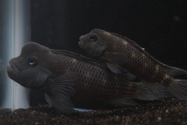Buffalo Head Cichlid (Steatocranus casuarius) - Imperial Tropicals