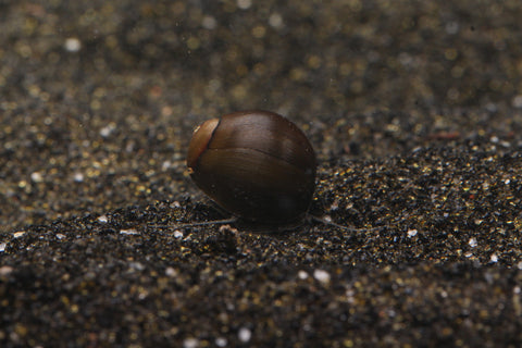 Olive Nerite Snail - Imperial Tropicals