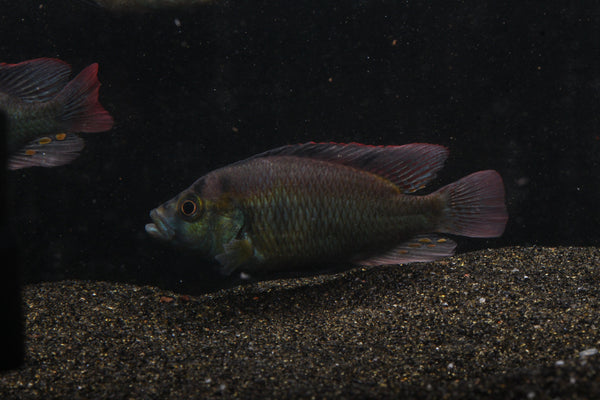 Astatotilapia Aeneocolor (Yellow Belly)