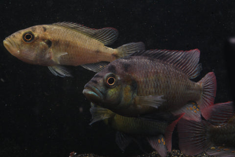 Yellow Belly Hap (Astatotilapia aeneocolor) - Imperial Tropicals