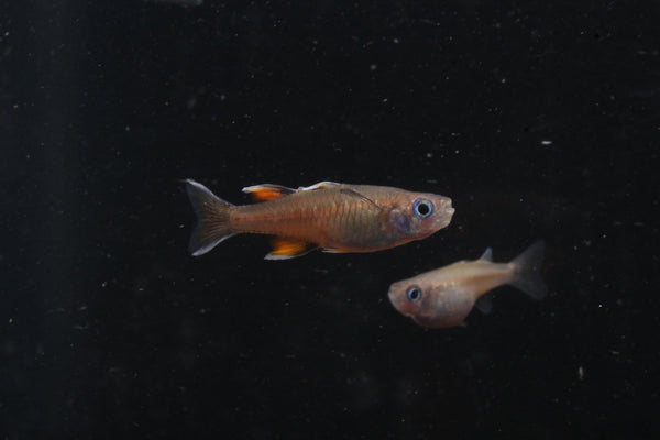 Signifer Rainbowfish (Pseudomugil signifer)