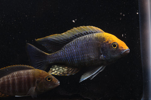 Sulfur Head Peacock Cichlid (Aulonocara maylandi) - JUST $9.99 SHIPPING w/ $45 PURCHASE! - Imperial Tropicals