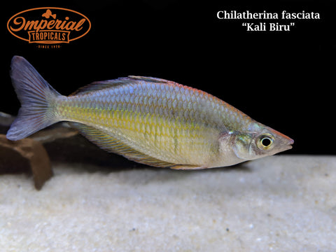 Kali Biru Rainbowfish (Chilatherina fasciata)