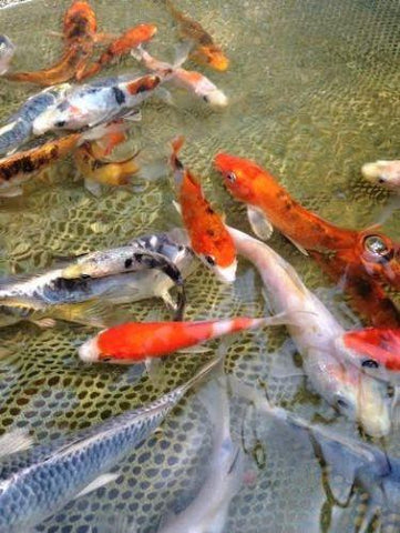 "Japanese koi 4-5""  (Cyprinus carpio) - Imperial Tropicals"