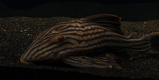 L-190 Royal Pleco Panaque nigrolineatus Plecostomus - Imperial Tropicals