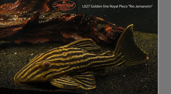 "L027 Golden Line Royal Pleco ""Rio Jamanxim"" (Panaque armbrusteri) - Imperial Tropicals"
